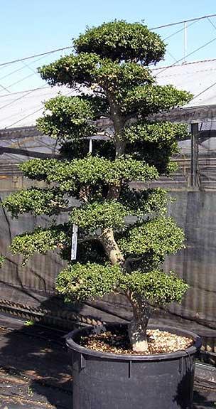 Vivai mediplants a camposanto di modena offre una vasta for Dove comprare bonsai