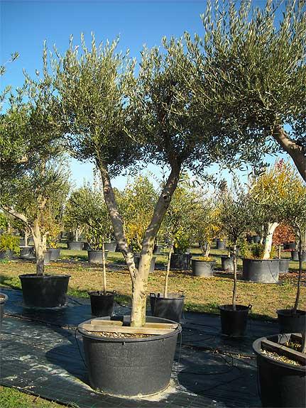 VIVAI MEDIPLANTS a Camposanto di Modena offre una vasta scelta di ulivi, corb...